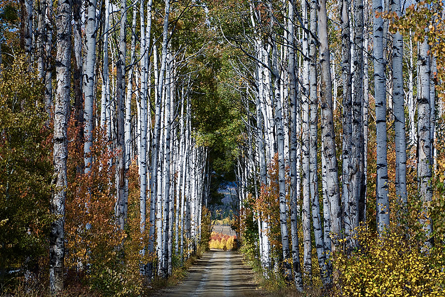 Aspen Alley Near Encampment